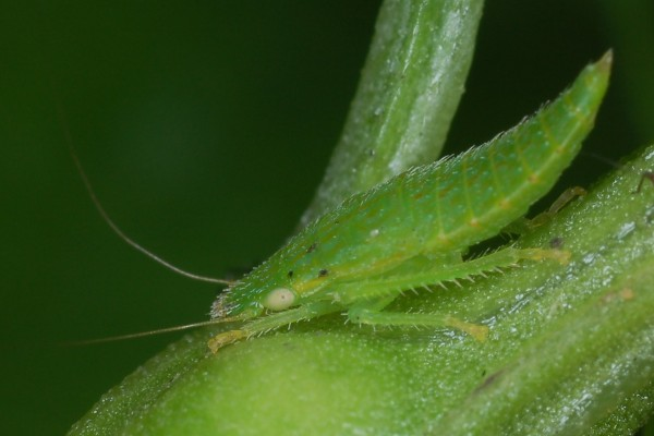 Hemiptera_Cicadellidae_Leafhopper nymph