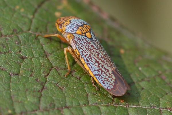 Hemiptera_Cicadellidae_Broad-headed Sharpshooter