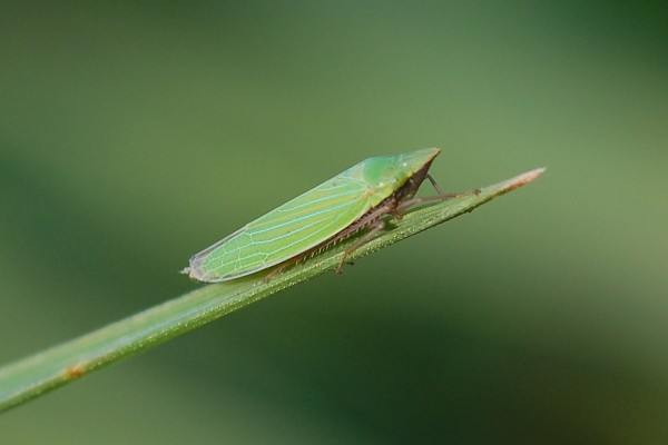 Hemiptera_Cicadellidae_Leafhopper