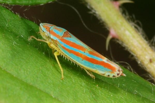 Hemiptera_Cicadellidae_Candy-striped leafhopper