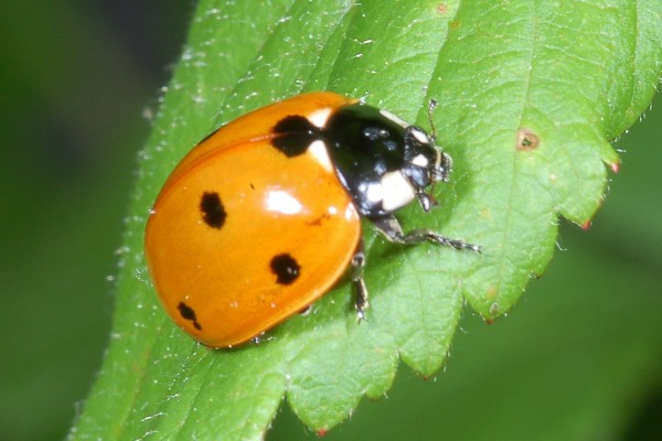 Coleoptera_Coccinellidae_Sevenspotted lady beetle