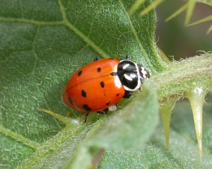 coccinellid0602