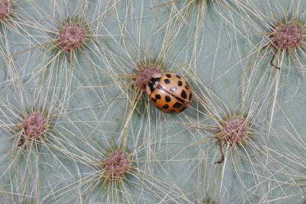 Coleoptera_Coccinellidae_Asian lady beetle