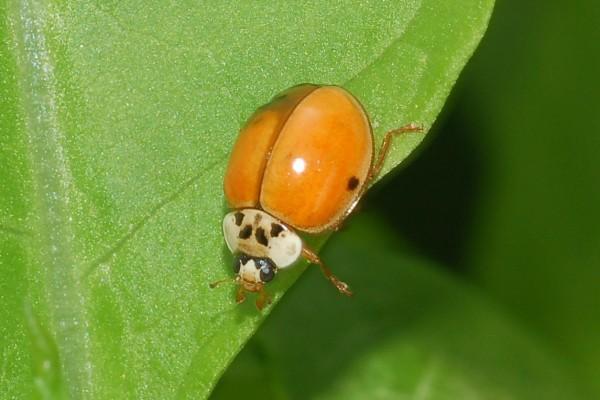 Coleoptera_Coccinellidae_Lady beetle
