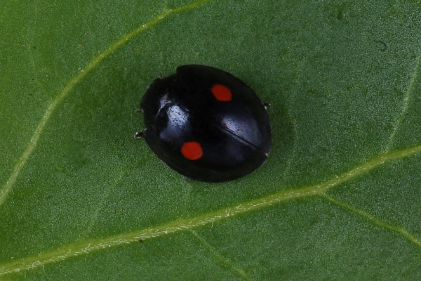 Coleoptera_Coccinellidae_Twicestabbed lady beetle