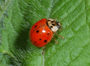 coccinellid8584
