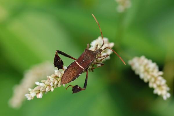 Hemiptera_Coreidae_Leaf-footed bug