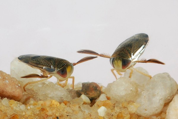 Hemiptera_Corixidae_Waterboatmen