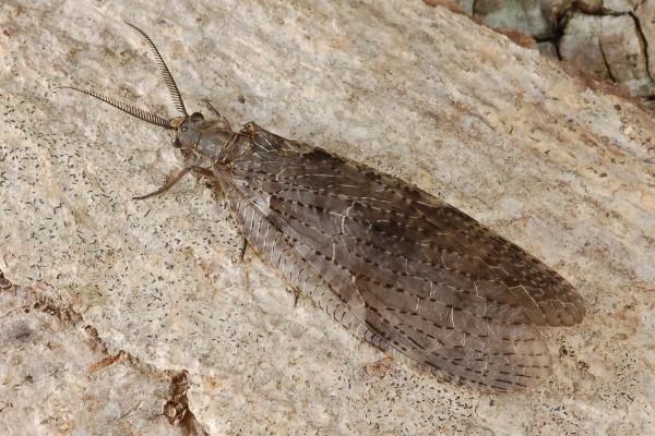 Neuroptera_Corydalidae_Dobsonfly