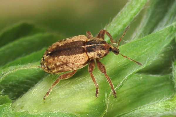 Coleoptera_Curculionidae_Alfalfa weevil
