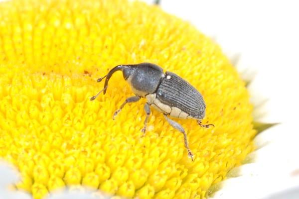 Coleoptera_Curculionidae_Weevil