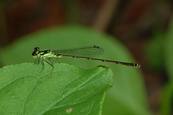 Odonata_Coenagrionidae_Damselfly
