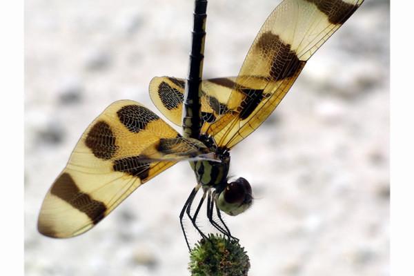 Odonata_Libellulidae_Dragonfly