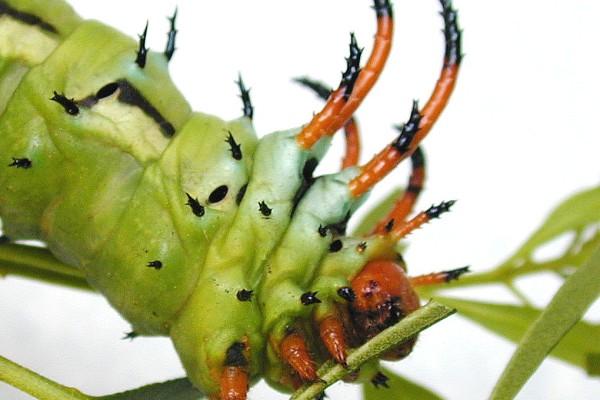 Lepidoptera_Saturniidae_Hickory Horned Devil