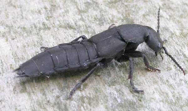 Coleoptera_Staphylinidae_Rove Beetle