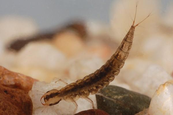 Coleoptera_Dytiscidae_Diving beetle larva