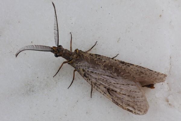 Neuroptera _Corydalidae_Dobsonfly