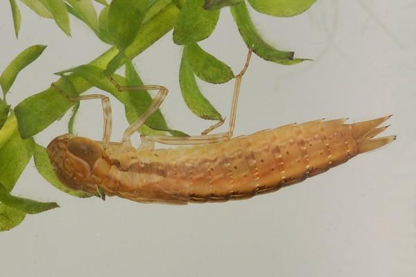 Odonata_Aeshnidae_Dragonfly naiad