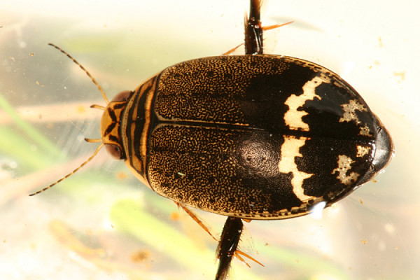 Coleoptera_Dytiscidae_Predaceous Diving Beetle