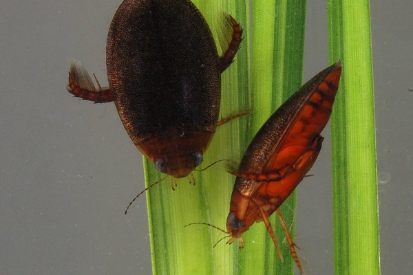 Coleoptera_Dytiscidae_Predaceous diving beetles