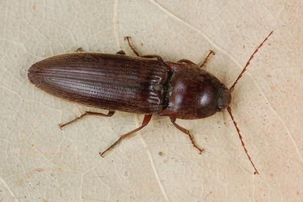 Coleoptera_Elateridae_Click beetle