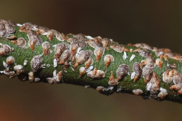 Hemiptera_Coccoidea_Euonymus scale female