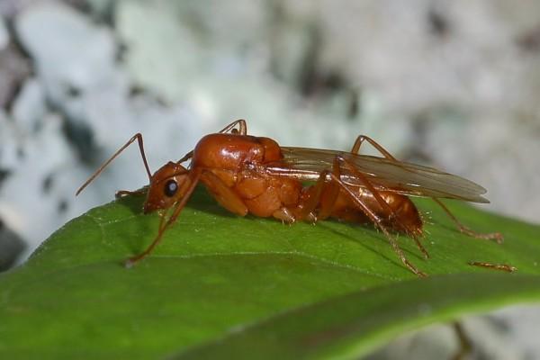 Hymenoptera_Formicidae_Camponotus americanus