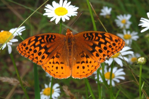 Lepidoptera_Nymphalidae_Fritillary butterfly