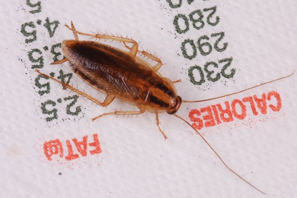 Blattodea_Blattellidae_German cockroach
