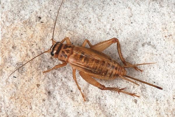 Orthoptera_Gryllidae_Cricket