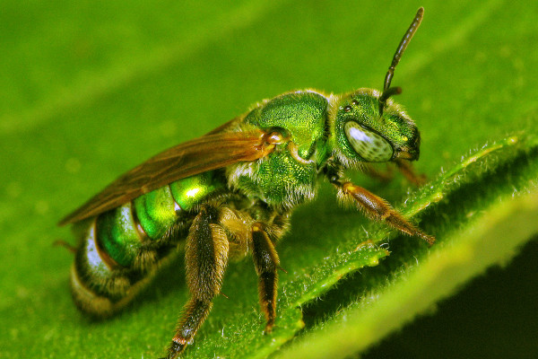 Hymenoptera_Halictidae_Sweat bee