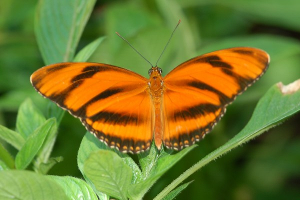 Lepidoptera_Nymphalidae_Heliconius butterfly