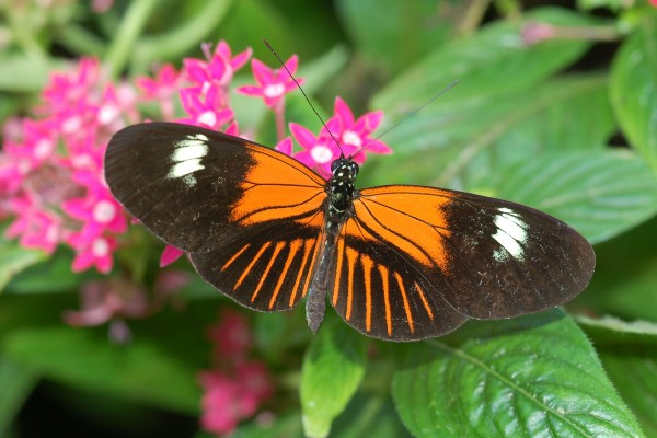 Lepidoptera_Nymphalidae_Postman butterfly