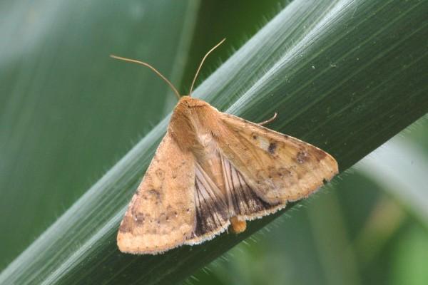 Lepidoptera_Noctuidae_Corn earworm moth