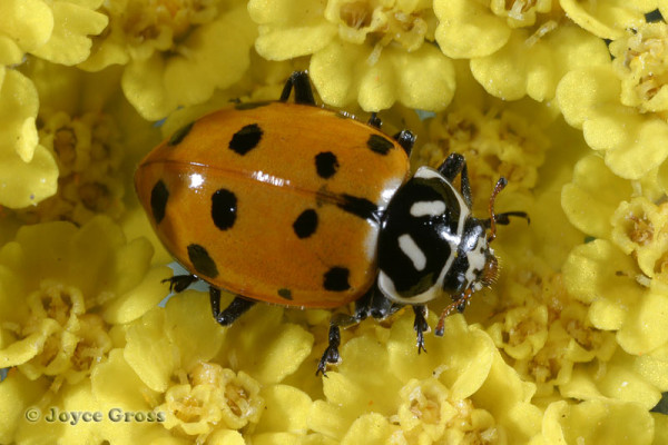 Coleoptera_Coccinellidae_Convergent Lady Beetle