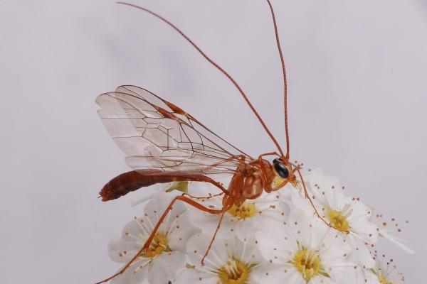 Hymenoptera_Ichneumonidae_Ichneumon wasp