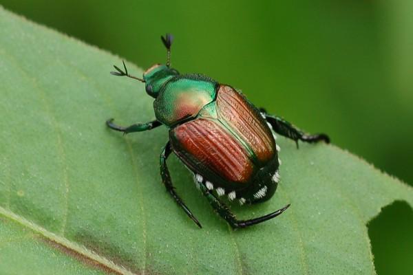 Coleoptera_Scarabaeidae_Japanese beetle