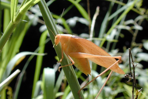 Orthoptera_Tettigoniidae_Oblong-winged katydid