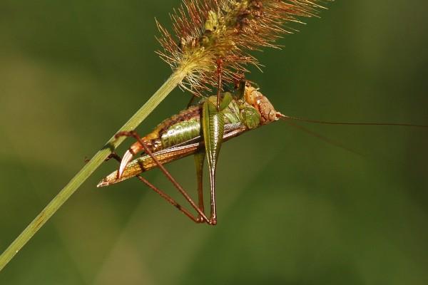 Orthoptera_Tettigoniidae_Greater meadow katydid