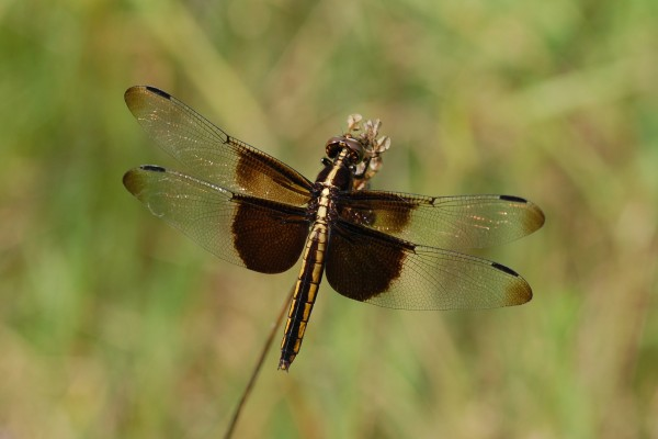 Odonata_Libellulidae_The widow skimmer
