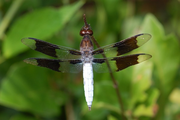 Odonata_Libellulidae_Common whitetail (male)