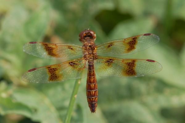 Odonata_Libellulidae_Eastern amberwing (female)