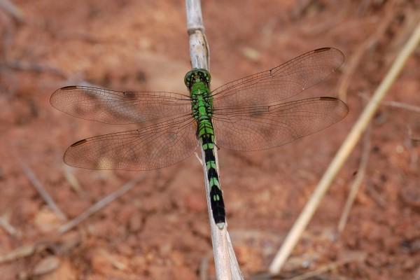 Odonata_Libellulidae_Eastern pondhawk