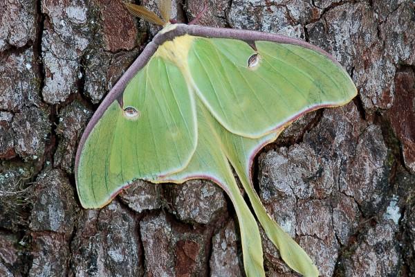Lepidoptera_Saturniidae_Luna moth
