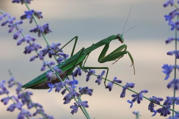 Mantodea_Mantidae_Chinese mantis