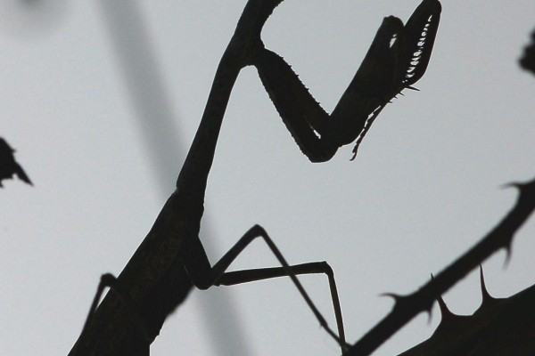Mantodea_Mantidae_Mantid silhouette