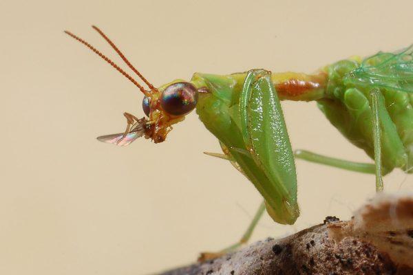 Neuroptera_Mantispidae_Mantispid with prey