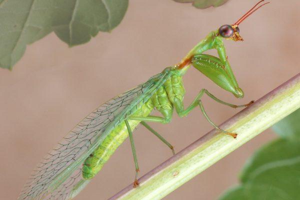 Neuroptera_Mantispidae_Mantispid