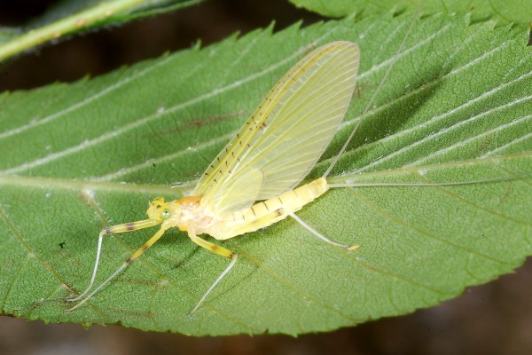 Ephemeroptera_None_Mayfly