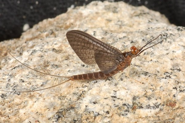 Ephemeroptera_Heptageniidae_Mayfly